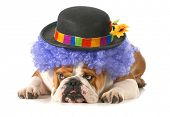 Funny Dog - englische Bulldogge angezogen wie ein Clown, isolated on white background