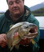 pic of trout fishing  - big brown trout caught in Chile Patagonia