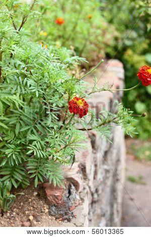 Marigold Flowers Tagetes.