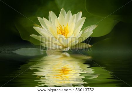 Yellow lotus blossom with reflection,Closeup.