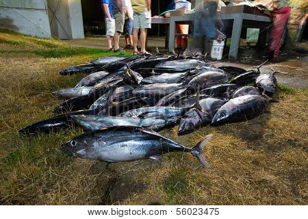 Dead Caught Salmon Fish