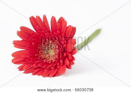 Red Gebera