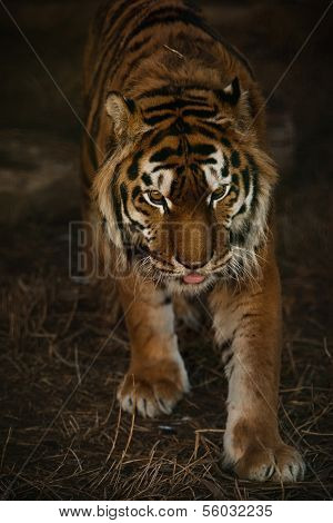 Young sumatran tiger is walking