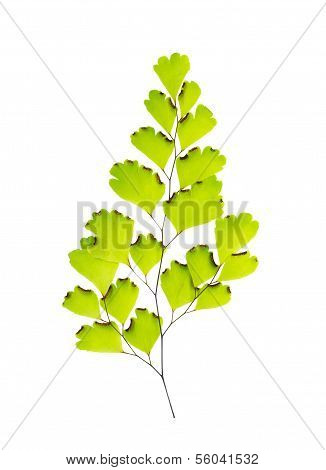 Maidenhair Leaves Is Isolated On White Background