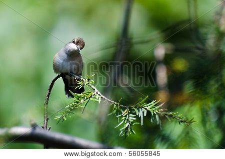 Curious Ruby-throated Hummingbird Perched In A Tree