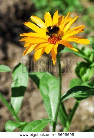 Calendula Arvensis With Bumblebee
