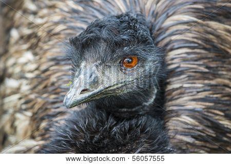 Emu Bird Close-up