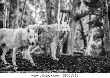 Arctic Wolfs