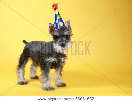 Cute Little Miniature Schnauzer Puppy Dog