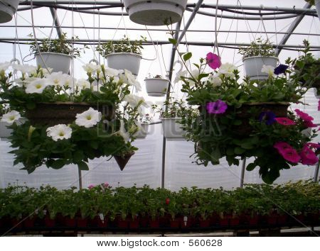 Greenhouse Hanging Plants