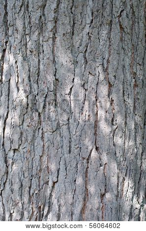 Kentucky Coffeetree Bark
