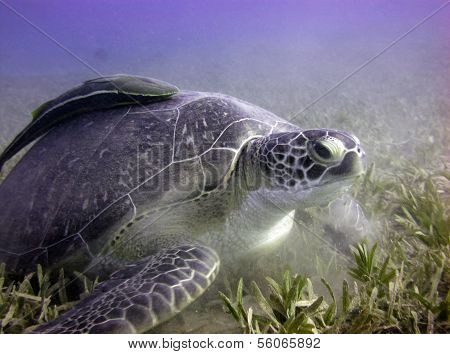 Green turtle and remora