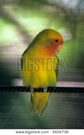 Yellow Parakeet - Dominican Republic