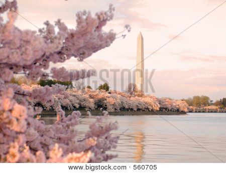 Cherry Tree's And Monument