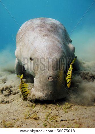 Dugong portrait