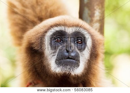 brown handed gibbon or Lar Gibbon, Thailand
