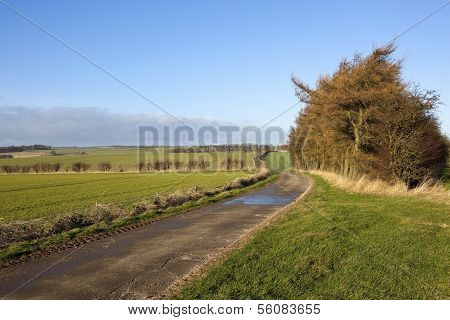 Wolds Landscape With Larch Trees