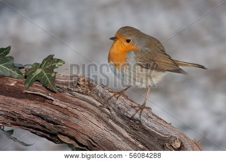 European Robin On Branch