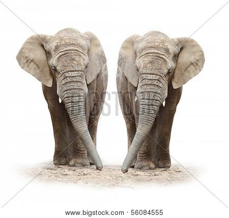 African elephants (Loxodonta africana) on a white background.