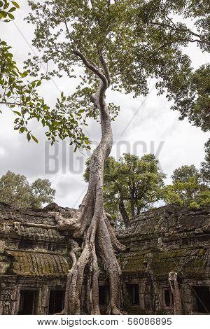 Spung Baum bei Ta Prohm Tempel