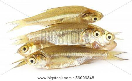 Amblypharyngodon Mola Fish Of Southeast Asia