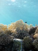 stock photo of fire coral  - Millepora fire corals illuminated by the sun