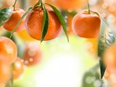 stock photo of tangerine-tree  - Collage with tangerines and green leaves - JPG