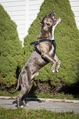 pic of staffordshire-terrier  - American Staffordshire Terrier Jumping High to Catch Dogfood On The Backyard - JPG