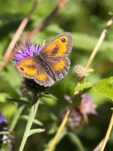 picture of gatekeeper  - a gatekeeper butterfly on a thistle flower in summer - JPG
