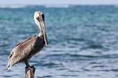 Pelican On A Pylon