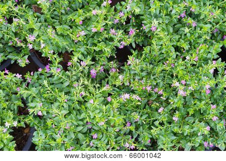 False heather plant