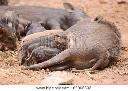 Wild Boar Feeding Their Baby