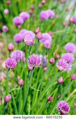 Chives in flower.