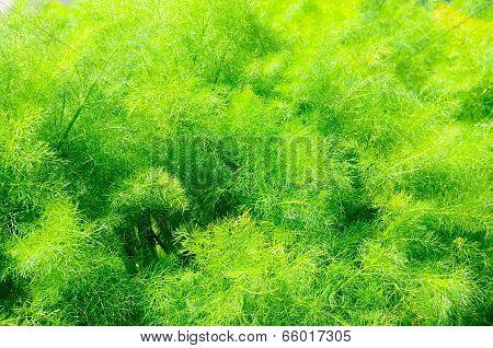 Young asparagus fern.