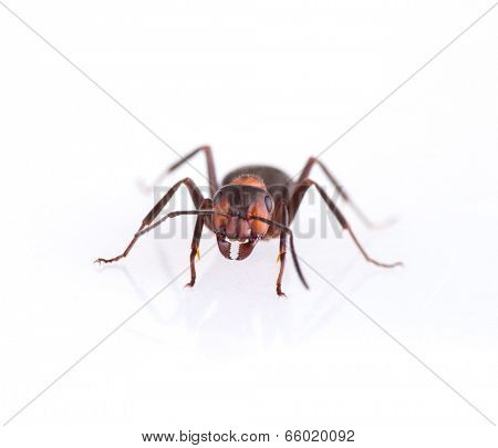 Ant isolated on white background, macro photo.
