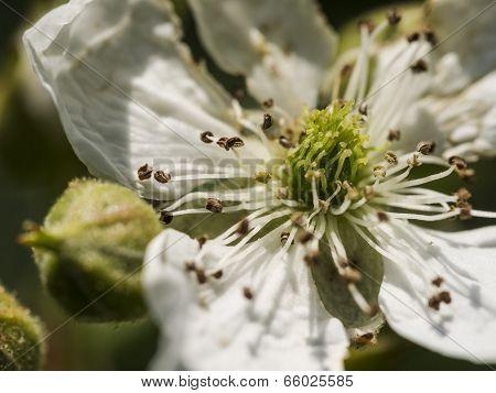 Inside Wild White Multiflora Rose. Super Close-up Macro.