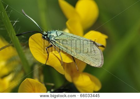 Cistus Forester Moth