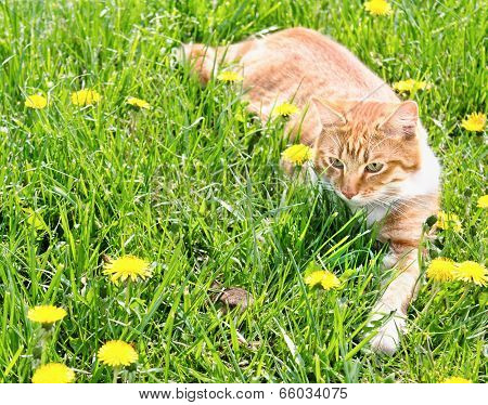 Red Cat Catching Mouse In Grass
