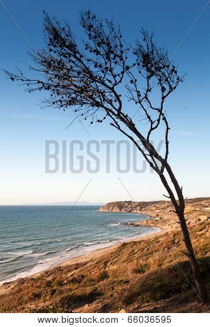 Dry Pine Tree On The Coast Of Gibraltar Strait In Morocco