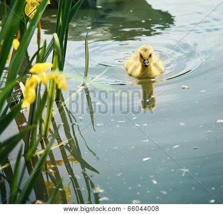 a baby canadian goose (gosling) swimming in a pond
