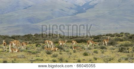 Patagonian Landscape With Guanacos. Chile. South America