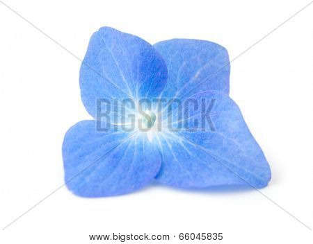 High magnification, single Blue Hydrangea flower isolated on white.