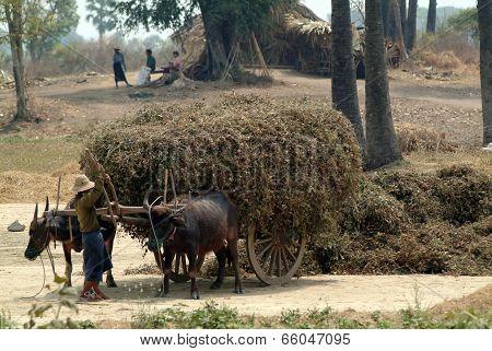 Buffalo Carts Towed In Myanmar Field.