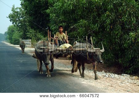 Buffalo Carts Towed In Myanmar Field.