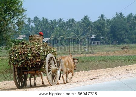 Bullock Carts Towed In Myanmar Field .