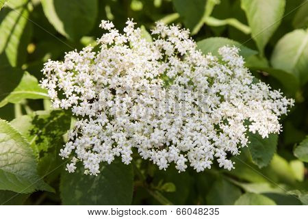 Elderberry Inflorescence