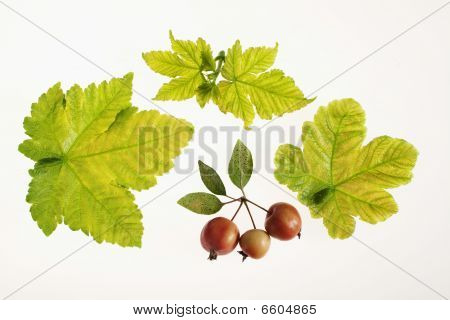 leaves and forest fruits