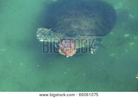 Florida softshelled turtle (apalone ferox) 1