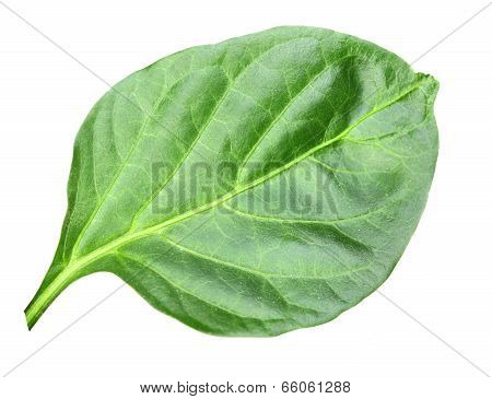 Wry Green Leaf Of Pepper