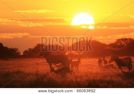 Zebra - African Wildlife Background - Sunset Golden Red and Freedom